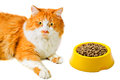 Portrait of lying orange and white fed cat isolated on background Royalty Free Stock Photography