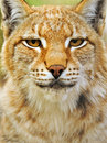 Portrait of a lynx in their natural habitat Stock Image