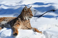 Portrait of a lynx in their natural habitat Royalty Free Stock Images