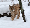 Portrait of a lynx in their natural habitat Royalty Free Stock Photography