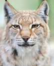 Portrait of a lynx in the wild Royalty Free Stock Photos