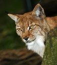 Portrait of a lynx from zoo Royalty Free Stock Photo