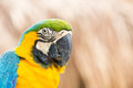 Portrait of Macaw Stock Photography