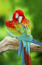 Portrait of macaw in nature background Royalty Free Stock Images