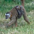 Portrait of Madagascar lemur and a baby on its back