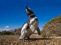 Portrait of Magellanic penguins. Close-up. Argentina. Peninsula Valdes. Royalty Free Stock Photo