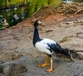 Portrait Of A Magpie Goose Standing At The Water Side, Tropical Bird From Australia