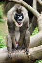 Portrait of male baboon sitting on tree limb Royalty Free Stock Photo