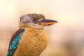 Portrait of male blue-winged kookaburra Royalty Free Stock Photo