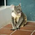 Portrait of male koala bear sitting on the floor Royalty Free Stock Image