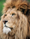 Portrait of male lion Stock Photos