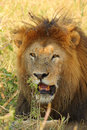 Portrait of a male lion panthera leo Stock Image