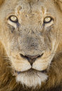 Portrait of a male lion south africa close up african panthera leo Stock Photography