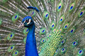 Portrait male peacock his tail feathers display Royalty Free Stock Photos