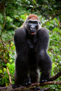 Portrait of male Western Lowland Gorilla. Royalty Free Stock Images