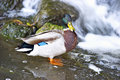 Portrait of a mallard duck in pond Royalty Free Stock Photos