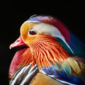 Portrait of Mandarin Duck Royalty Free Stock Photo