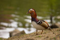 A portrait of a mandarin duck standing at the water s edge Stock Image
