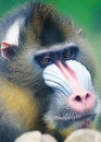 Portrait  of  mandrill Stock Image