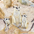 Portrait of meercat Royalty Free Stock Photography