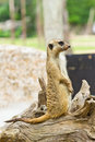 Portrait of meerkat Royalty Free Stock Photos