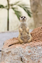 Portrait of meerkat Stock Image