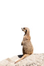 Portrait of a meerkat Royalty Free Stock Image