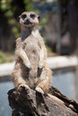 Portrait of a meerkat Royalty Free Stock Photo