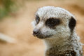Portrait of meerkat close up Stock Images