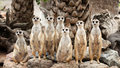 Portrait of meerkat family Royalty Free Stock Photo