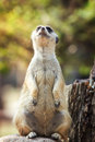 Portrait of meerkat on the rock with nature frame Stock Photography