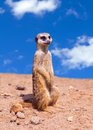Portrait of a meerkat standing against blue sky Royalty Free Stock Photo