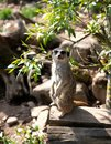Portrait of a meerkat or suricate in a natural habitat. Meerkat stands on a log in the forest Royalty Free Stock Photo