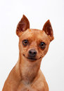 Portrait of a Miniature Pinscher dog Stock Photography
