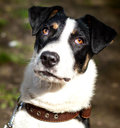 Portrait mixed breed dog Royalty Free Stock Image