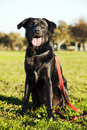 Portrait mixed labrador dog sitting grass park sunny day Royalty Free Stock Image