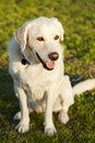 Portrait mixed labrador dog sitting grass park sunny day Stock Photography
