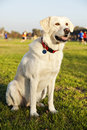 Portrait mixed labrador dog sitting grass park sunny day Stock Photos