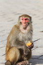 Portrait of monkey Royalty Free Stock Images