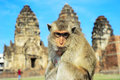 Portrait of a monkey closeup in front prang sam yot the khmer temple in lopburi Stock Image