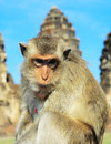 Portrait of a monkey closeup in front prang sam yot the khmer temple in lopburi Stock Photo