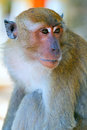 Portrait of a monkey of a macaque close up Royalty Free Stock Images