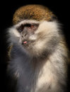 Portrait of monkey macaque macaca macaca sylvanus Stock Image