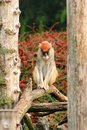 Portrait of a monkey is sitting, resting and posing on branch of tree in garden. Patas monkey is type of primates. Royalty Free Stock Photo