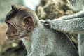 Portrait of the monkey in the uluwatu temple Royalty Free Stock Photos