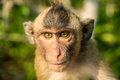 Portrait of monkey in the wild Royalty Free Stock Photo