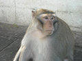 Portrait of monkeys around udon thani in north east thailsn enjoying themselves thailand south asia between nature and local Royalty Free Stock Photo