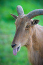 Portrait of a mountain goat Royalty Free Stock Photo