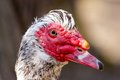 Portrait of muscovy duck a Stock Images