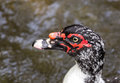 Portrait of Muscovy Duck Royalty Free Stock Photo